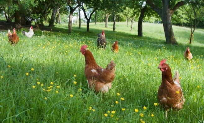 Phantom-Forest-Free-range-chickens.jpg