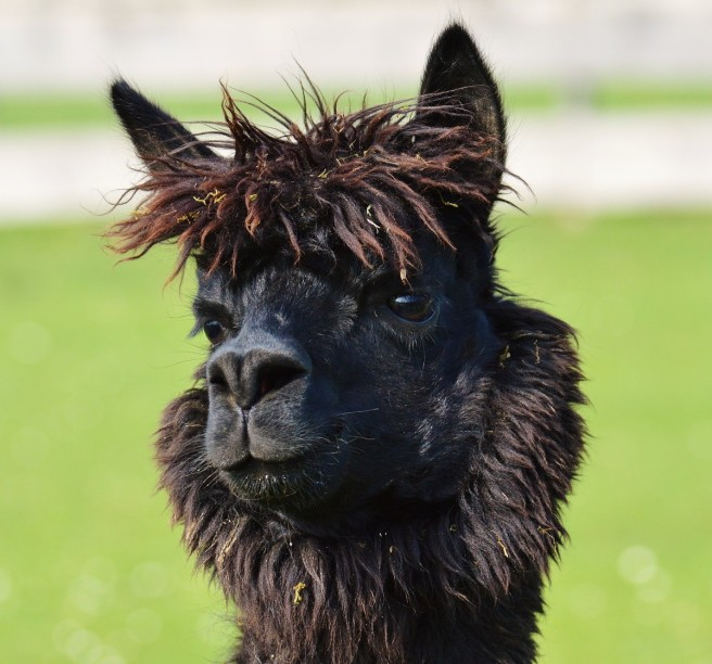 lama_head_black_animals_cute_good_aiderbichl_sanctuary_animal_rescue-1044072.jpg